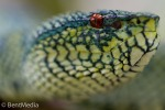 Wagler´s pit viper (Tropidolameus wagleri)