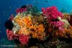 Raja Empat soft coral