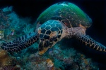 Hawksbill turtle, feeding on sponges