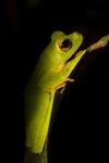 Wallace´s flying frog (Racophorus nigripalmatus)