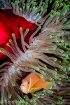 Maldivian anemone fish (Amphiprion nigripes)