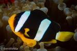 Clark´s anemonefish