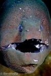 Giant moray (Gymnotorax javanicus)