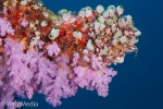 Soft corals and tunicates