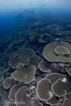 Acropora reef