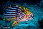 Oriental sweetlips and cleaner wrasse
