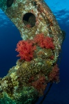 Soft coral on the tile wreck