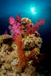 Red Sea soft coral
