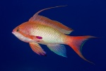 Anthias male