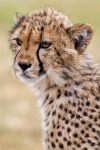 Cheetah cub from Cheetah rescue centre, South Africa.