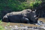 White rhino, Hluhluwe. One of over a hundred sightings during less than a week.