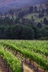 Wineyard, Stellebosch