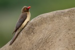 Redbilled oxpecker on white rhino