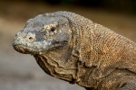 Komodo monitor, Horseshoe bay