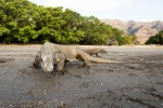 Komodo monitors, Horseshoe bay