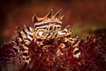 Zebra crab