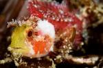 Small coral scorpionfish