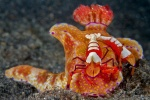 Emperor shrimp on Ceratosoma nudibranch
