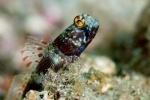 Shrimp goby