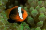 Tomato anemone fish
