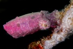 Papuan cuttlefish