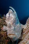 Giant frogfish on tube sponge