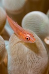 Ghost goby