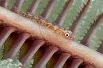 Goby on sea pen