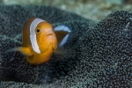 Saddleback anemone fish